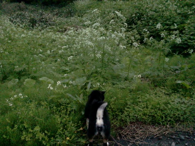 道草をくう黒柴犬
