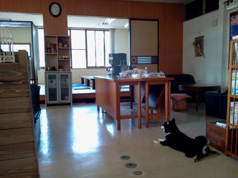暑くてもっちりな黒柴犬