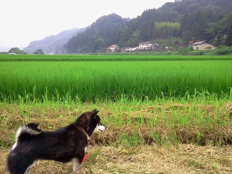 田んぼと黒柴犬 今日で梅雨明けの庄内