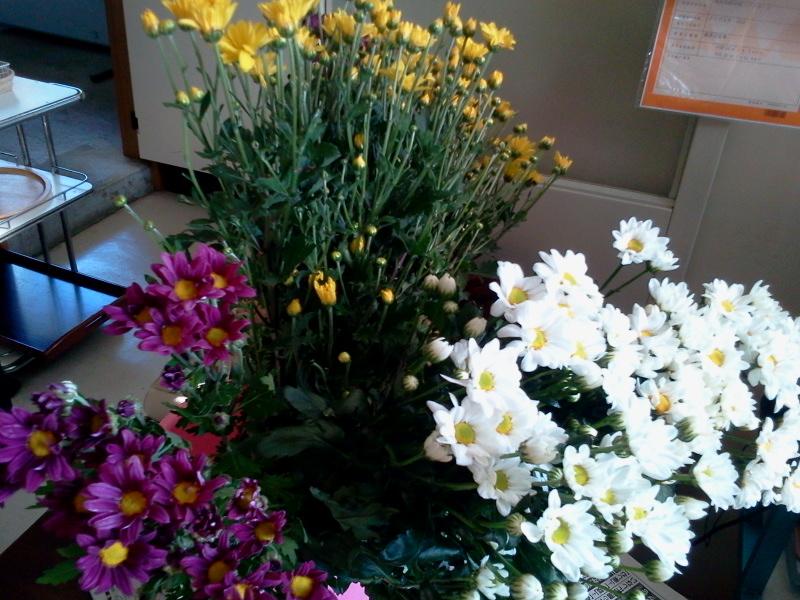 知り合いのおじちゃんの菊の花。