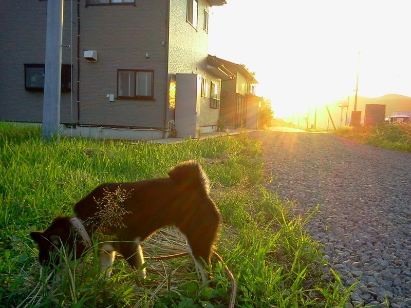 田んぼと黒柴犬 お米が実ってきたよ!