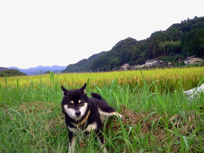 涼しくなってきましたー。稲穂と黒柴犬