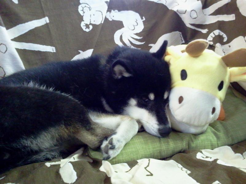 キリンさんと、、、コロナ 昼寝