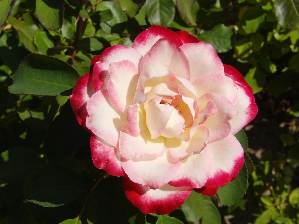 東沢バラ園の薔薇たち