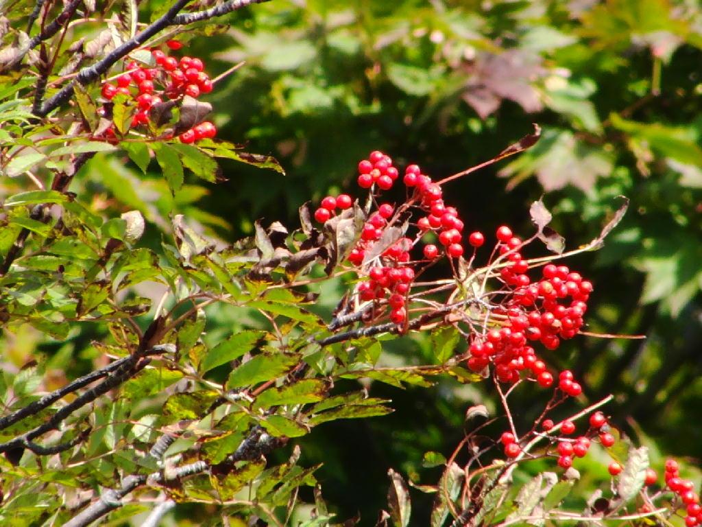 オオコノハズクと紅葉