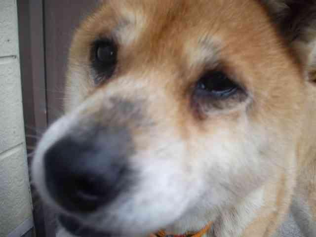 2007年10月のいなかフェと柴犬