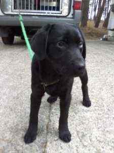 庄内保健所に黒ラブ&柴犬mix 鶴岡市西沼、宝田一丁目で保護、収容中。