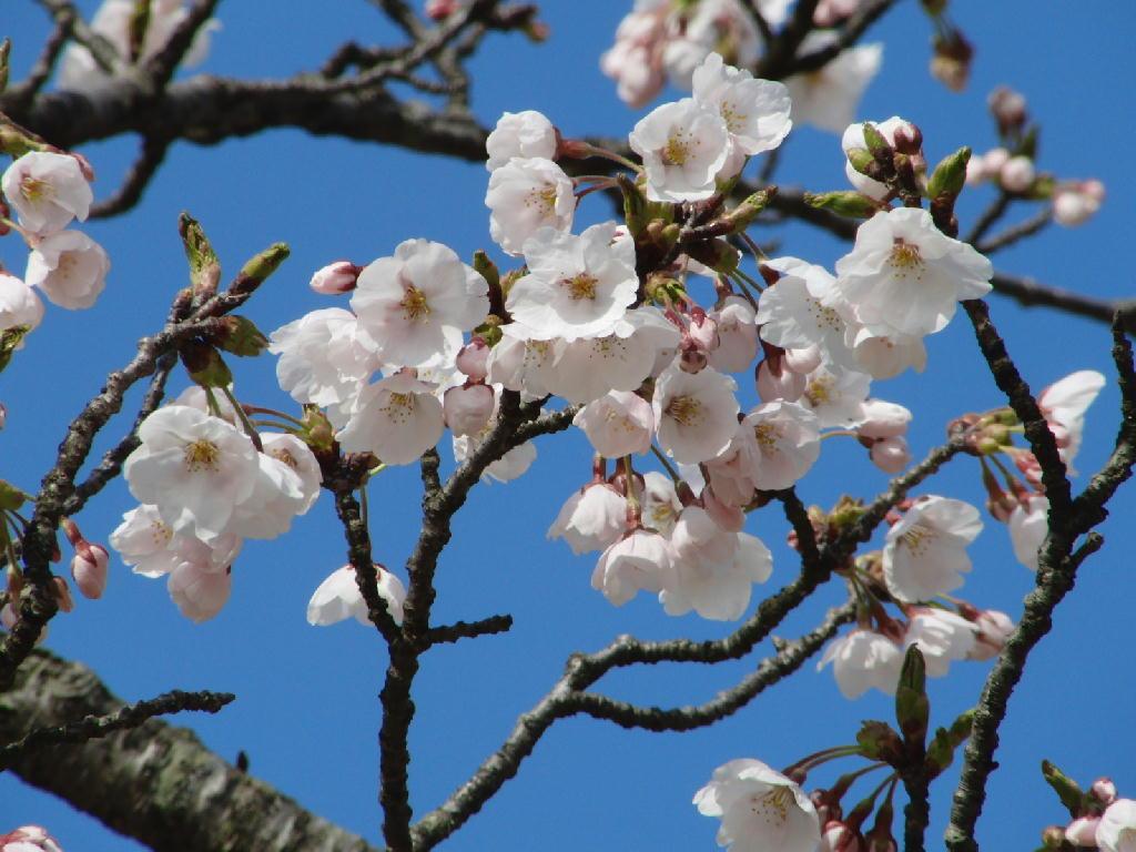 八幡の桜の風景