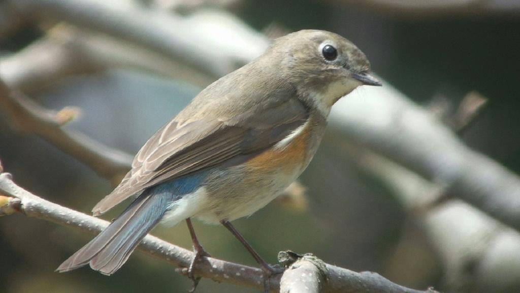 飛島の鳥さんたち