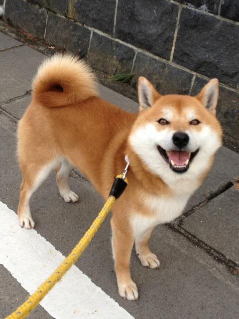 あまりにもかわいい柴犬。
