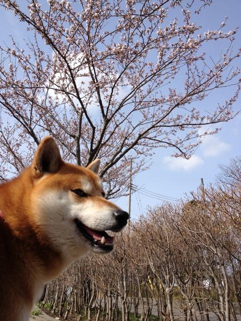 やっぱりかわいい柴犬。