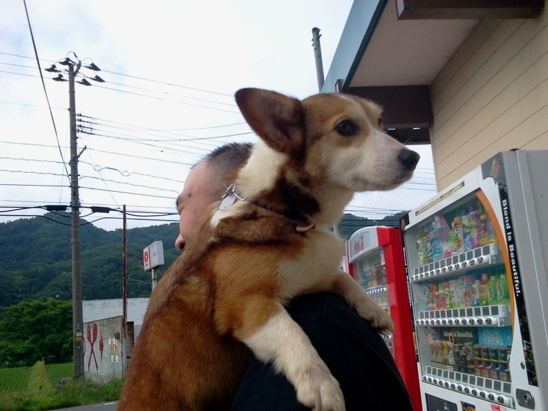 コーギーの空(そら)ちゃん コンニチハ!