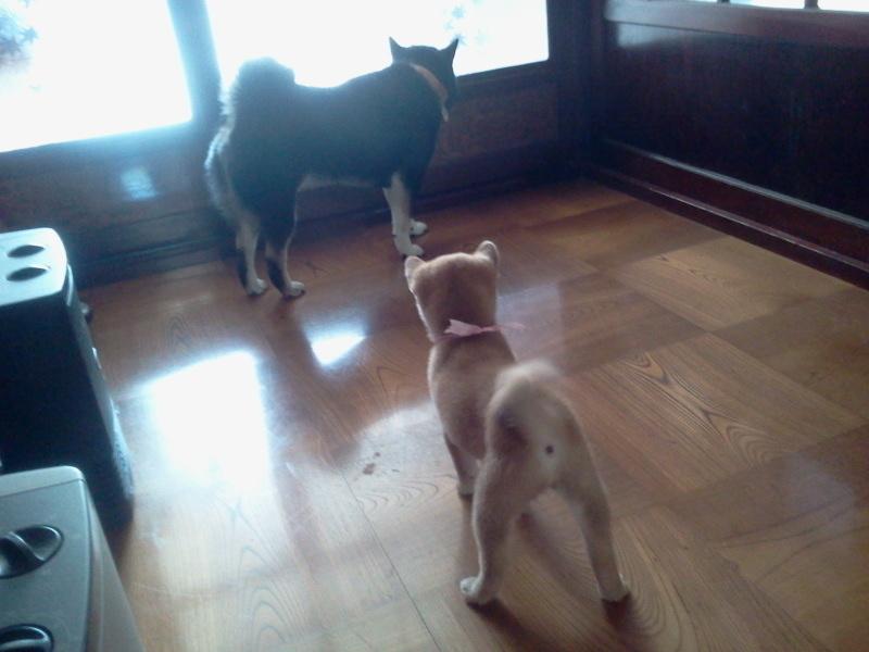 生後二ヶ月の柴犬とコロナ